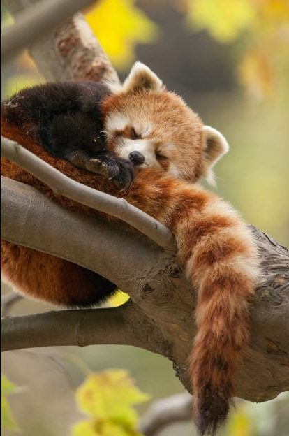 Red pandas make a small appearance in the movie, but they aren't a major star of the show.