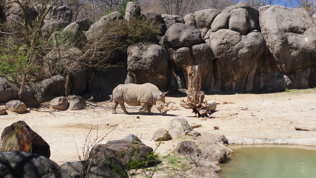 Recently, the Maryland Zoo welcomed a new Southern White Rhino.