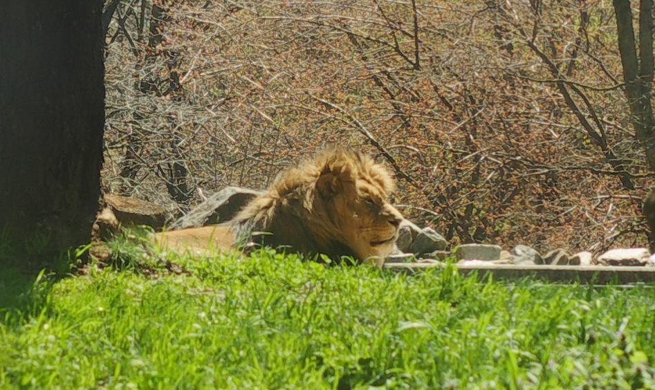 The lion was one of the most interesting exhibits. Although we couldn't get too close, he looked very regal from a distance.