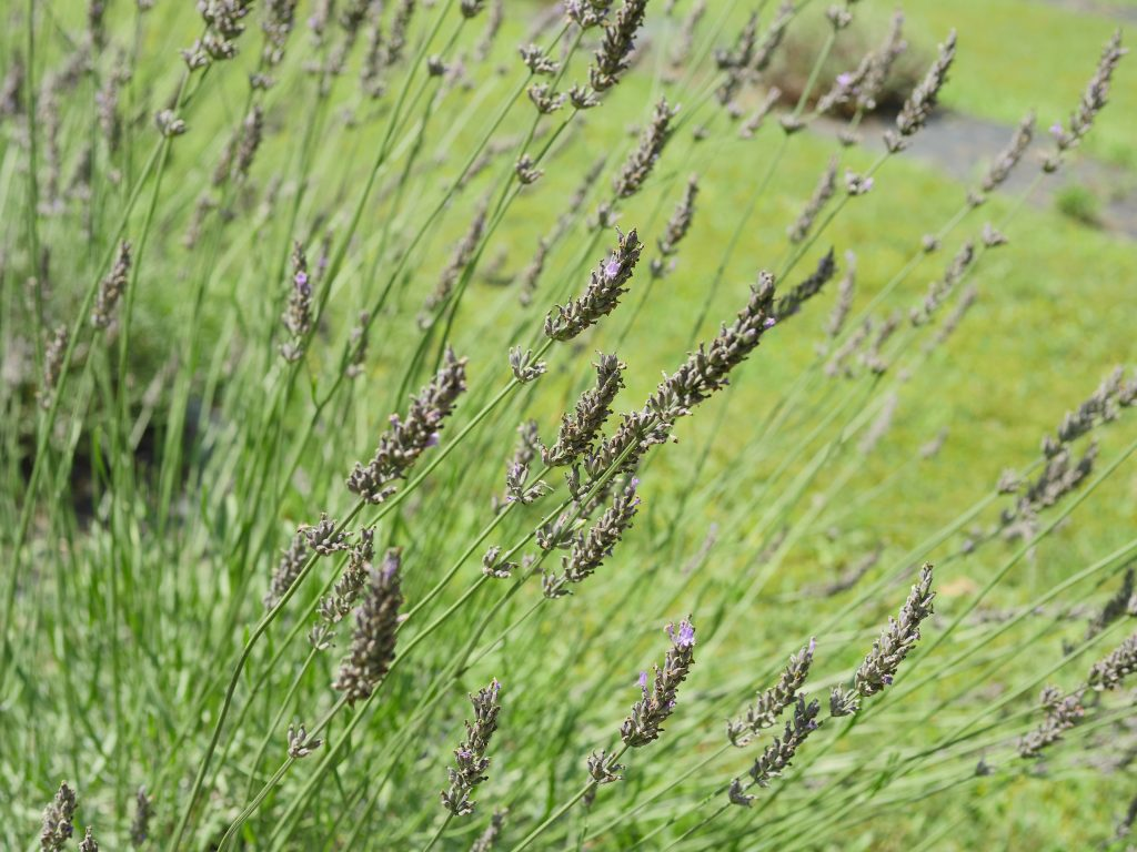Enjoy the fresh lavender at Soleado Lavender Farm