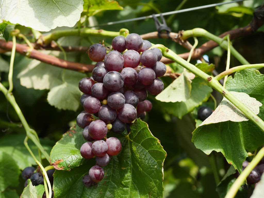 Grapes are one part of the fall harvest at Larriland Farm in Maryland!